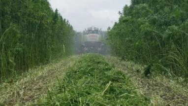 Vezelhennep wordt oogst